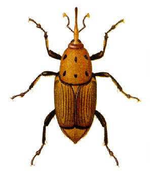 Palmrüssler - Rhynchophorus Ferrugineus